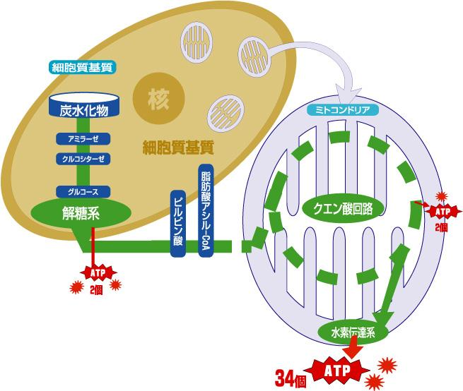 クエン酸サイクル図